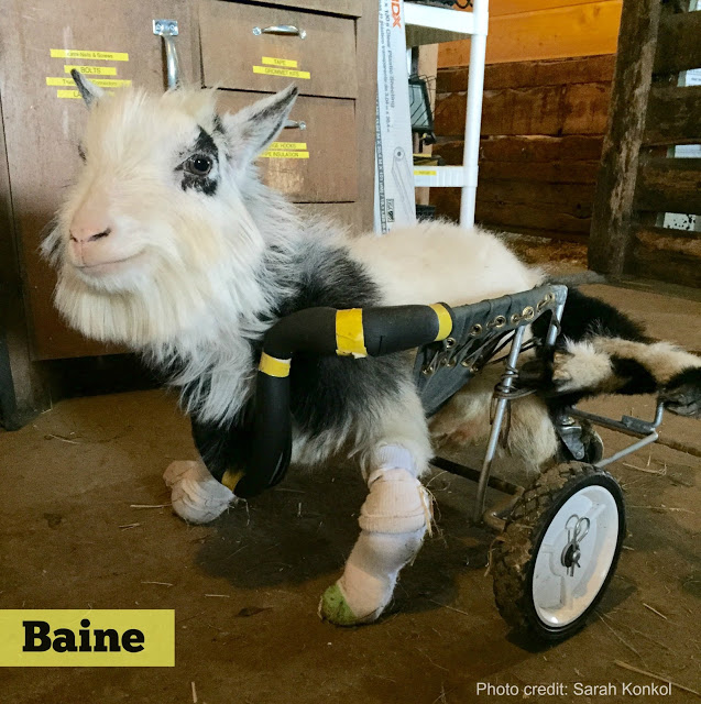Baine the goat in his wheelchair at Heartland Farm Sanctuary