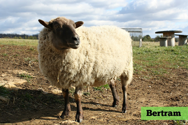Bert the sheep standing outside