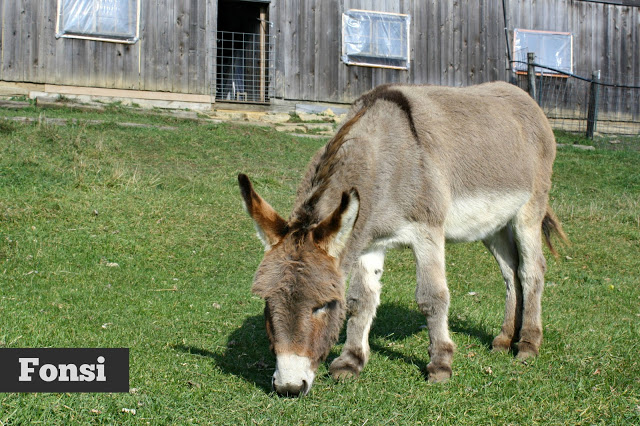 Fonsi the donkey eating grass