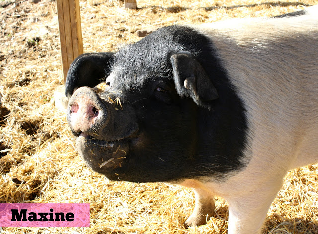 Maxine the pig at Heartland Farm Sanctuary