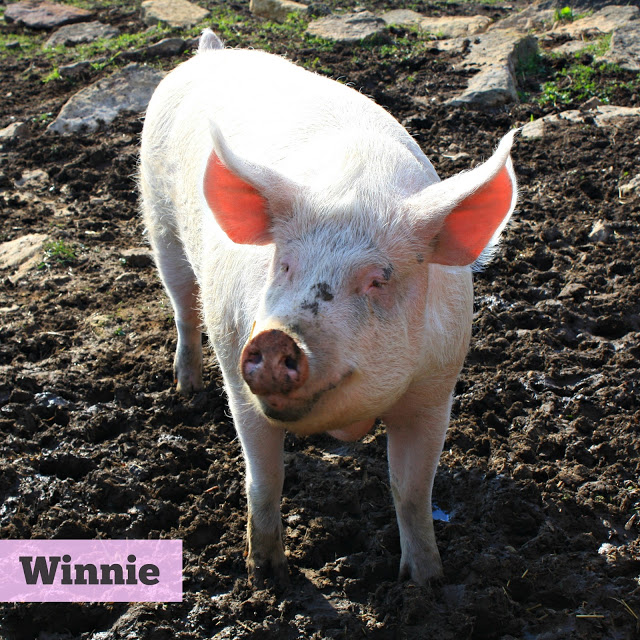 Winnie the pig standing in mud at Heartland Farm Sanctuary