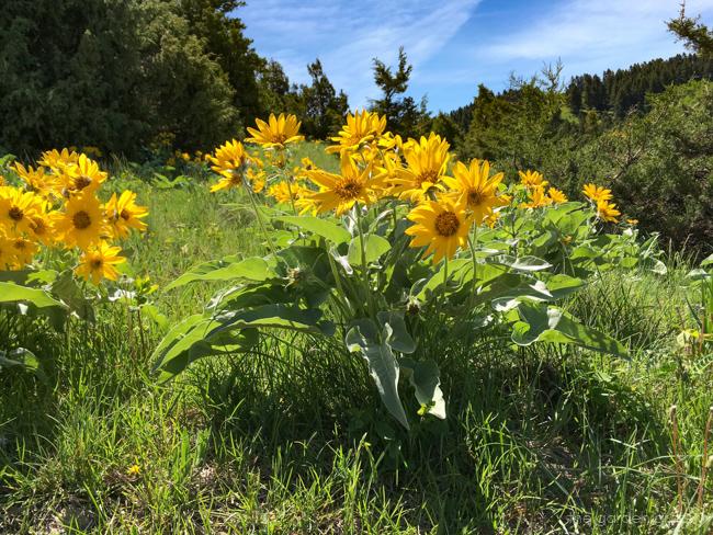 Arrowleaf balsamroot flowers in bloom