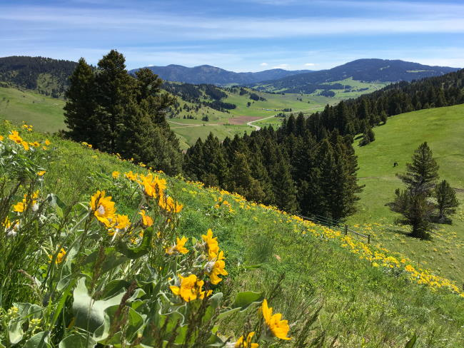 View of mountains and wildflowers on the Drinking Horse hiking trail in Bozeman, Montana.